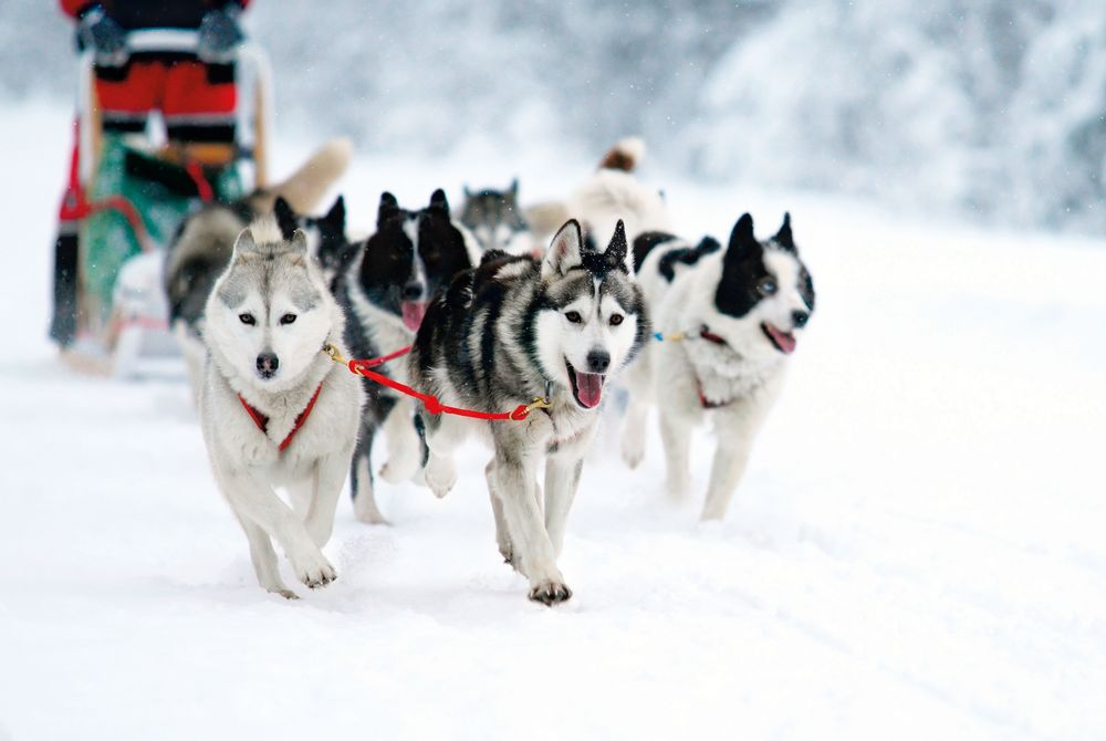 Husky Draft Race