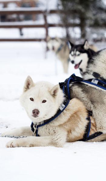 Husky sledding, Finland