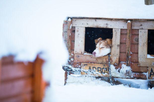 Husky at Tromso's Villmarkssenter