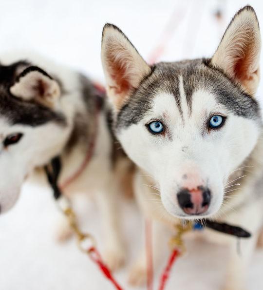 Husky in Finland