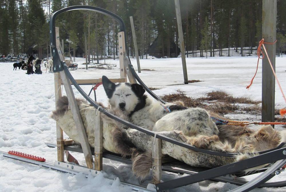 Husky sledding, Safartica