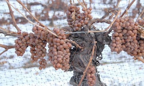 Growing grapes for icewine, Canada