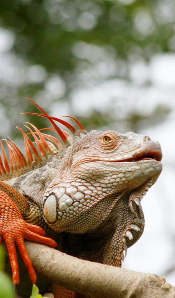 Red iguana in the wild