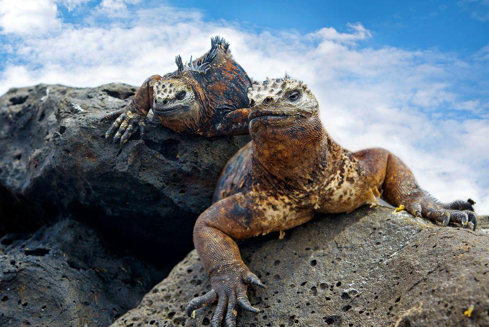 Iguana, Galapagos Islands, Ecaudor
