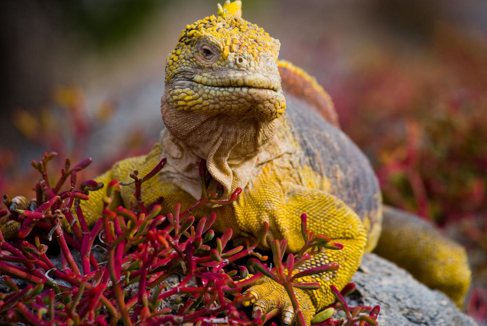 Iguana of the Galápagos Islands