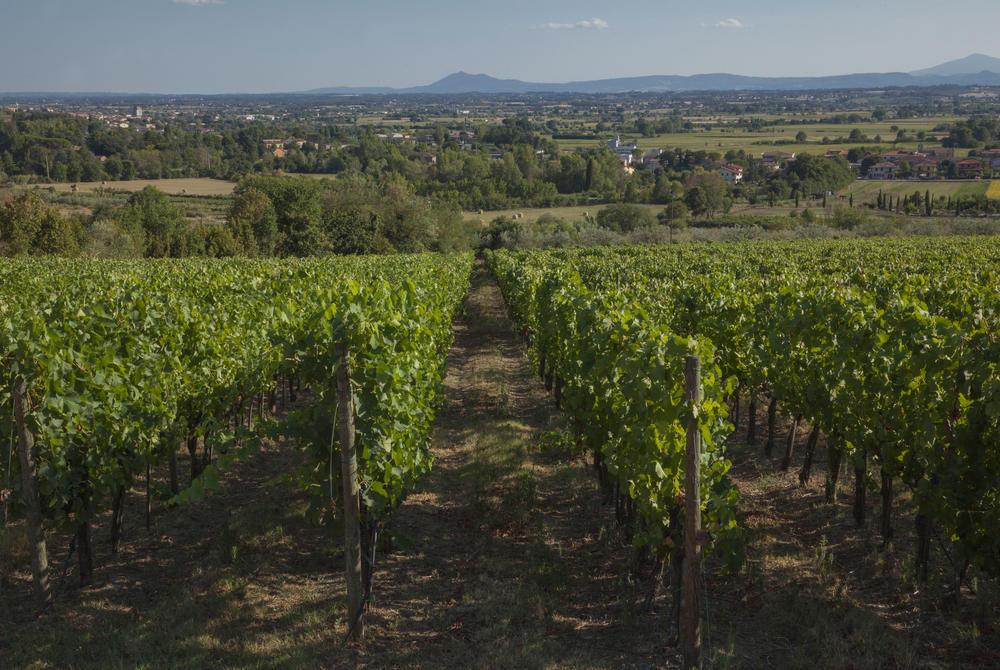 Vineyards, Cortona