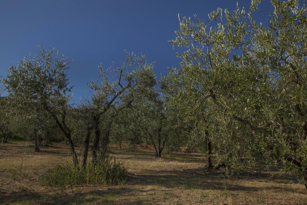 Olives, Cortona