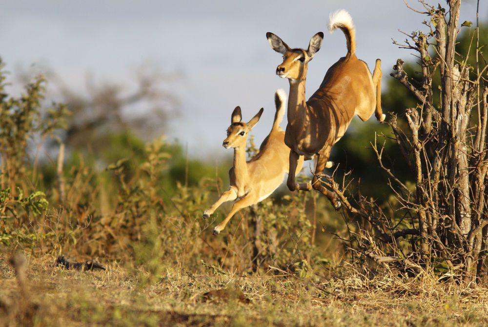 Impalas, Botswana
