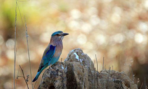Indian Roller (Coracias Benghalensis). Kanha National Park, Madhya Pradesh