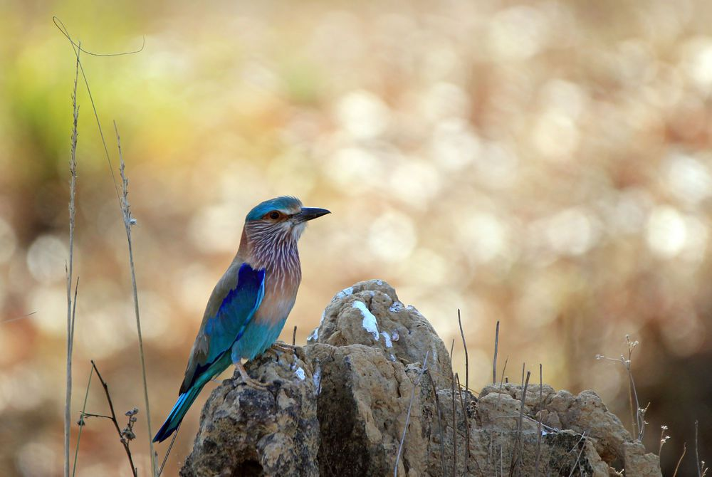 Indian Roller (Coracias Benghalensis). Kanha National Park, Madhya Pradesh, India