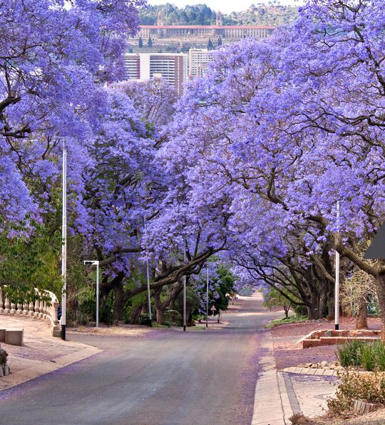Jacaranda trees in October in Pretoria, South Africa
