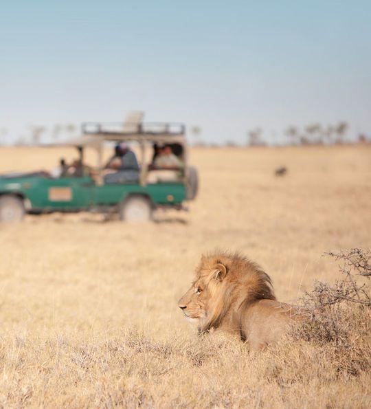 Lions on safari with Sanctuary Jack's Camp, Makgadikgadi Pan
