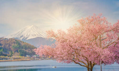 Japan cherry blossoms and Mt Fuji