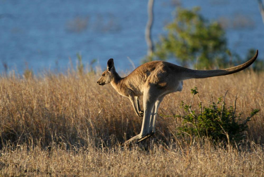 Kangaroo, Tasmania