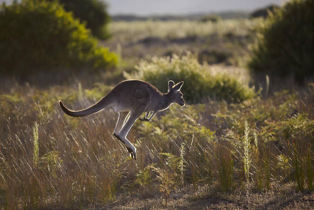 Kangaroo of Victoria