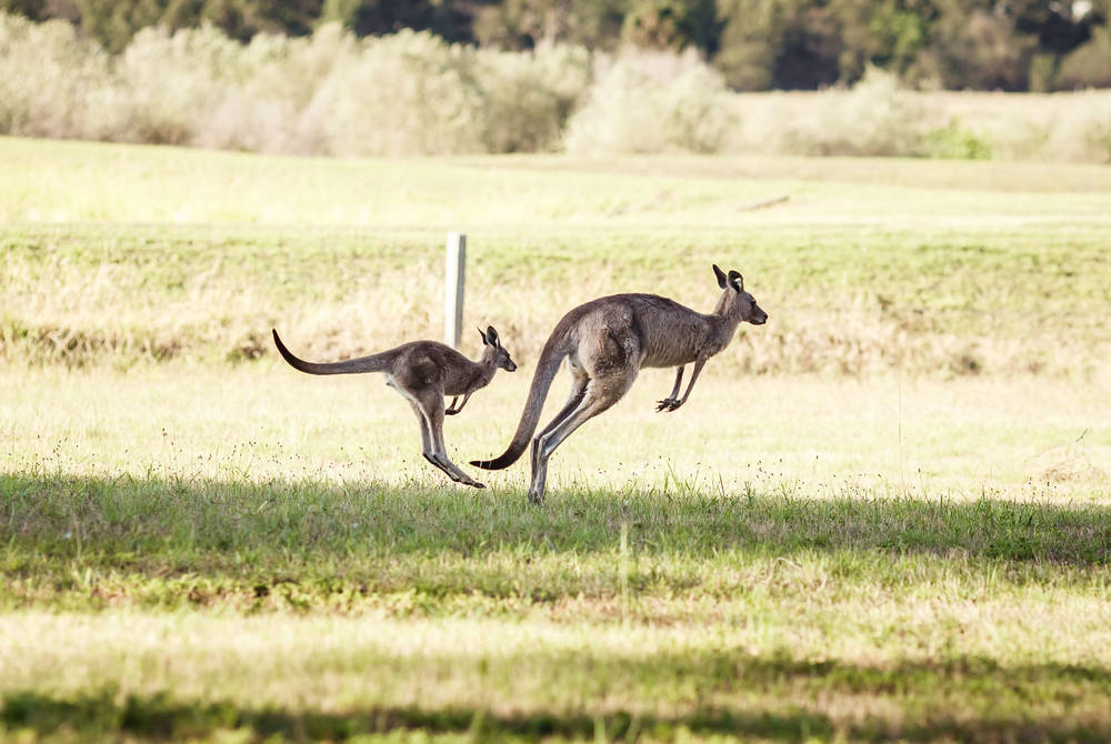 Kangaroos, Hunter Valley