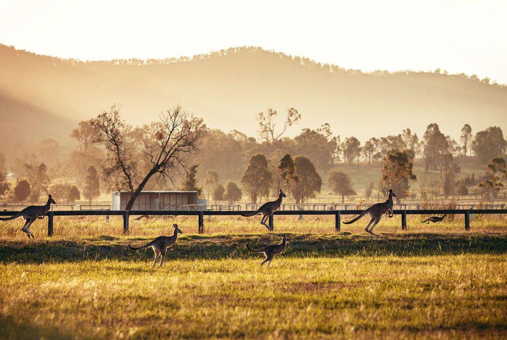 Kangaroos at Hunter Valley, Australia