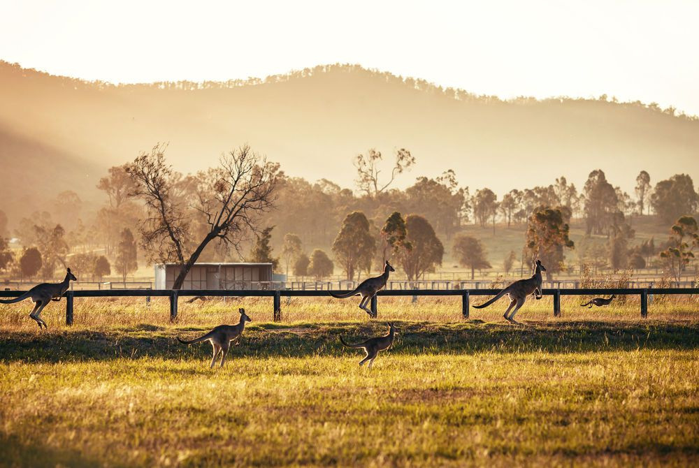 Kangaroos at Hunter Valley