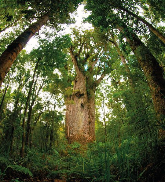 Kauri Tree, Waipoua Forest, North Island, New Zealand