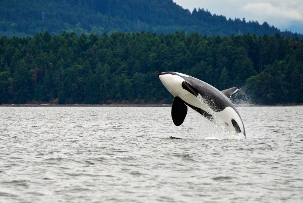 Killer whale, Vancouver Island, Canada