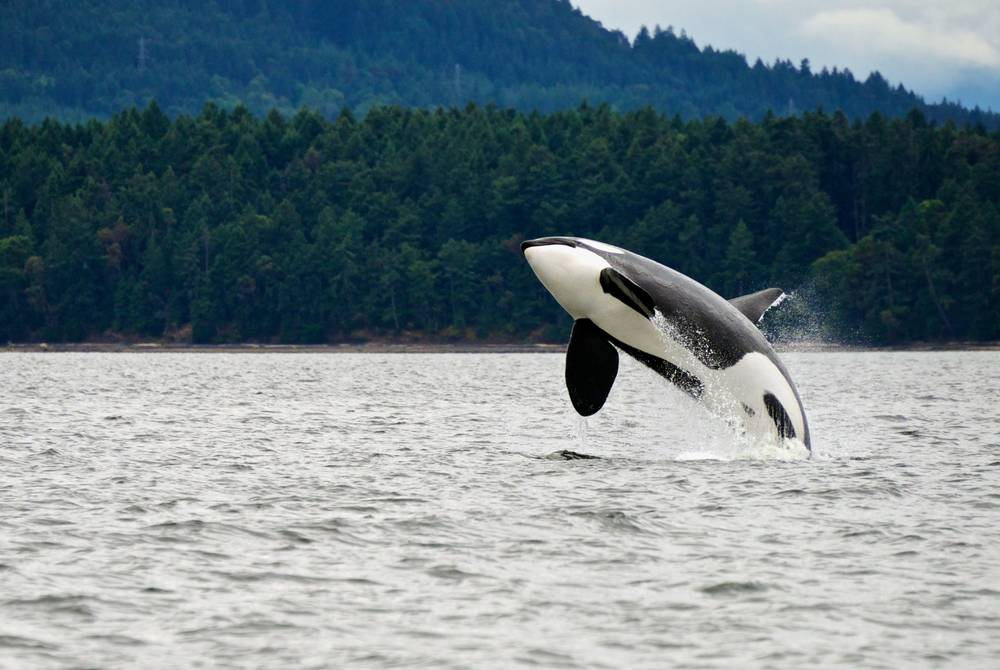 Orca whale, Vancouver Island, Canada