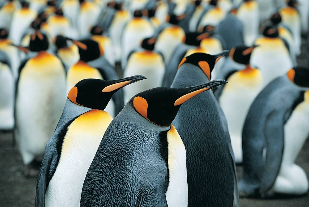 King penguins, Antartica