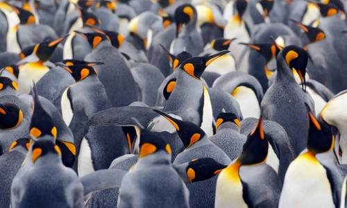 King penguins, Antarctica