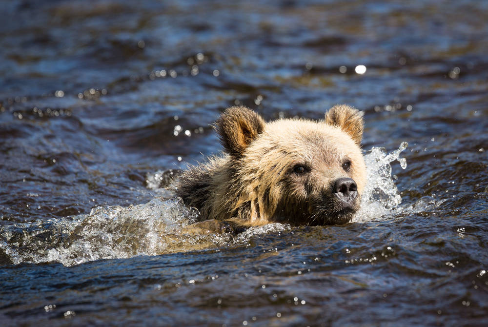 Grizzly bear swimming, Knight Inlet Lodge