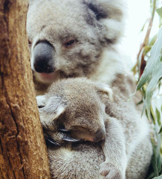Koalas, Yarra Valley