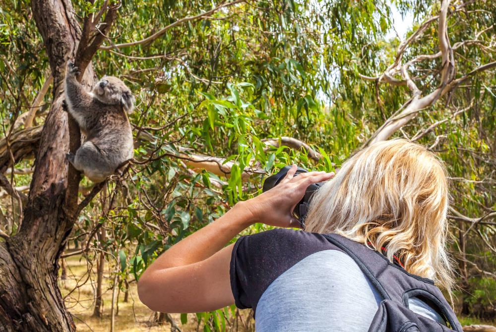 Koala in Victoria