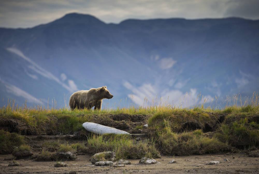 Bear, Kodiak, Alaska