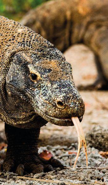 Komodo dragon on its eponymous island
