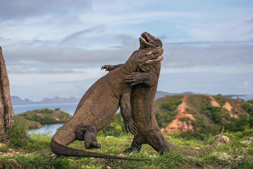 Komodo Dragon fight