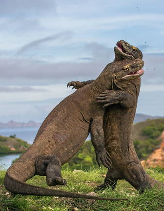 Komodo Dragon fight