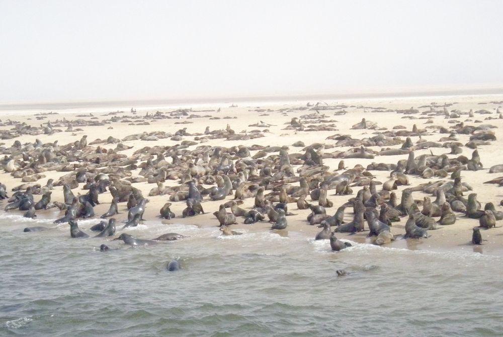 Krishna Ghosh - Namibia - Cape Seals