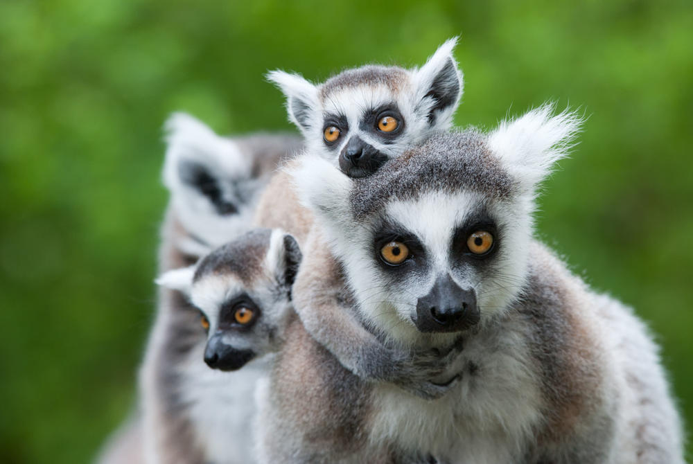 A family of Lemurs in Madagascar