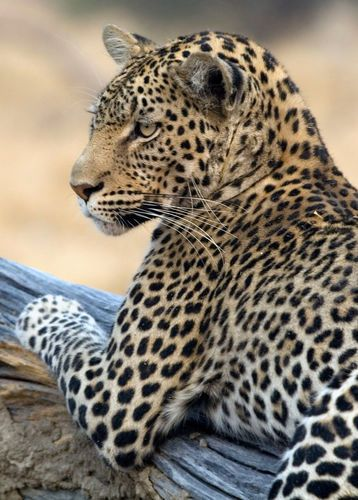 Leopard from a Game Reserve in Botswana