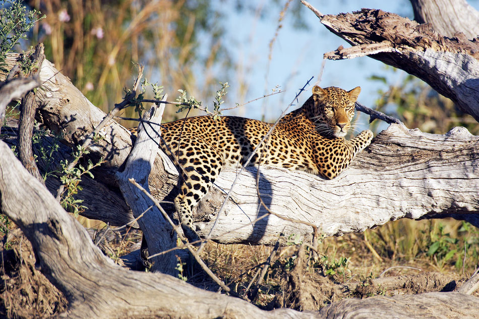 Wild leopard in Kafue Zambia
