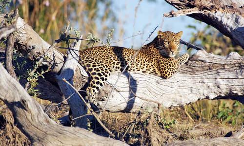 Leopard, Kafue, Zambia