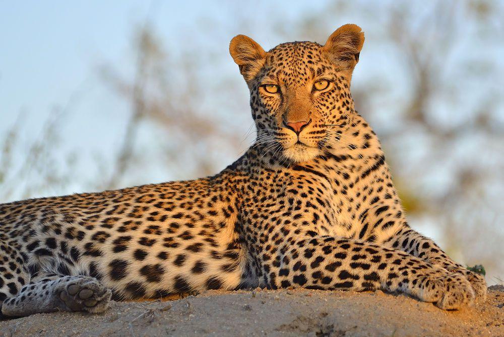 Leopard, Sabi Sand Game Reserve