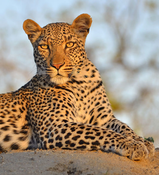 Leopard, Sabi Sands Game Reserve, South Africa