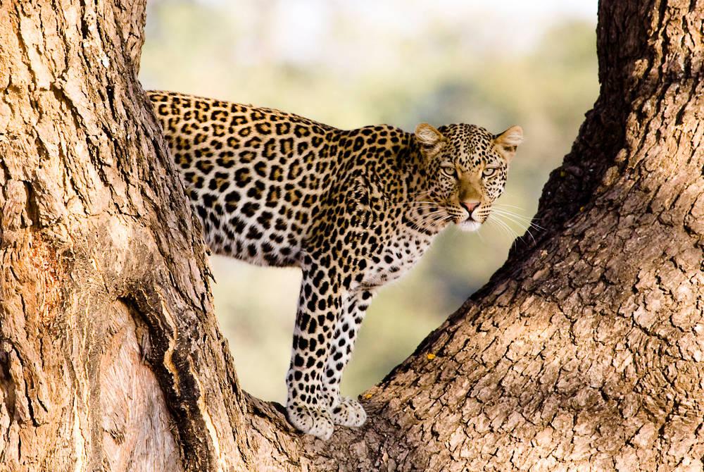 Leopard, Sanctuary Baines' Camp, Botswana
