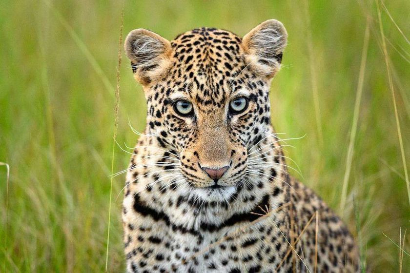 Leopard, Magashi Camp, Akagera National Park, Rwanda
