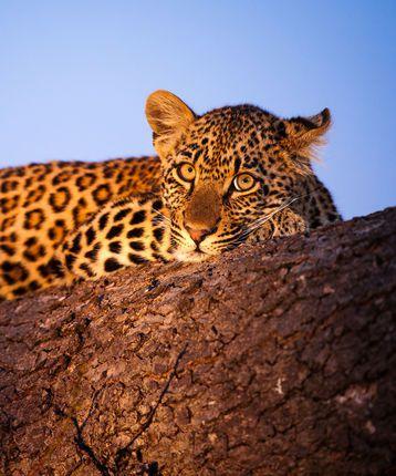 Leopard in Sabi Sands Game Reserve in South Africa