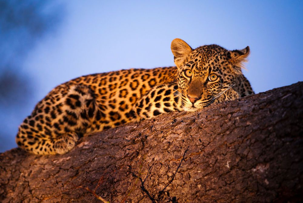 Leopard cub rests up on a fallen tree, Sabi Sand Game Reserve