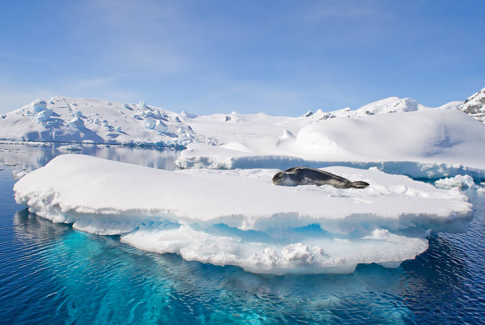 Leopard seal, Antarctic Peninsula