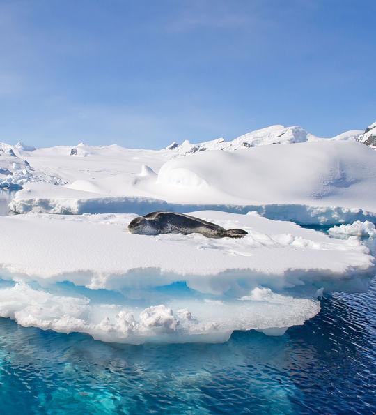 Leopard seal, Antarctic peninsula
