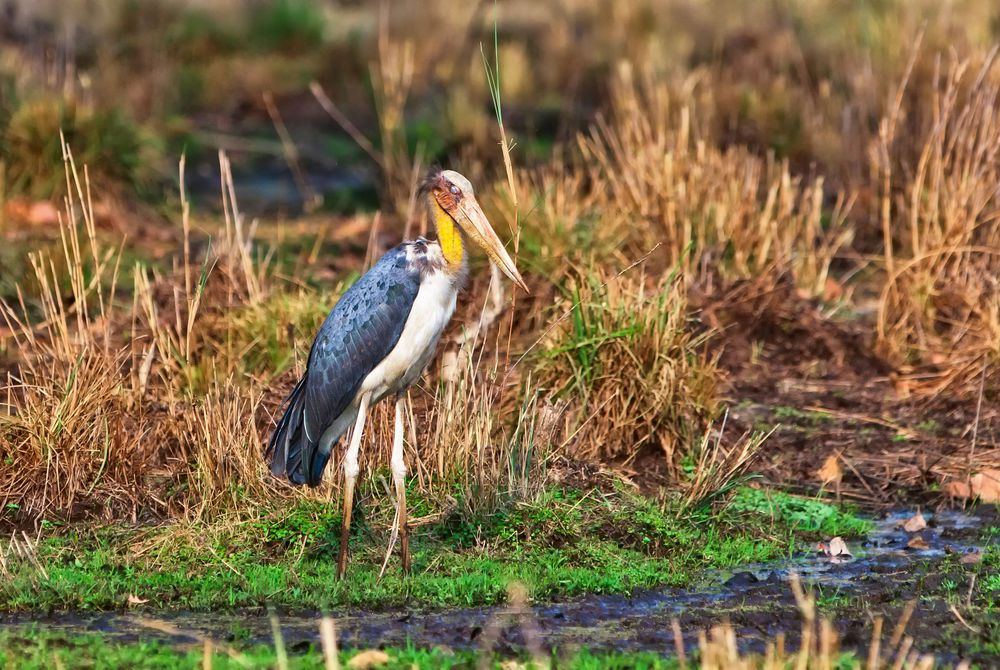 Lesser adjutant, (Relative of the marabou stork), Bandhavgarh National Park, India