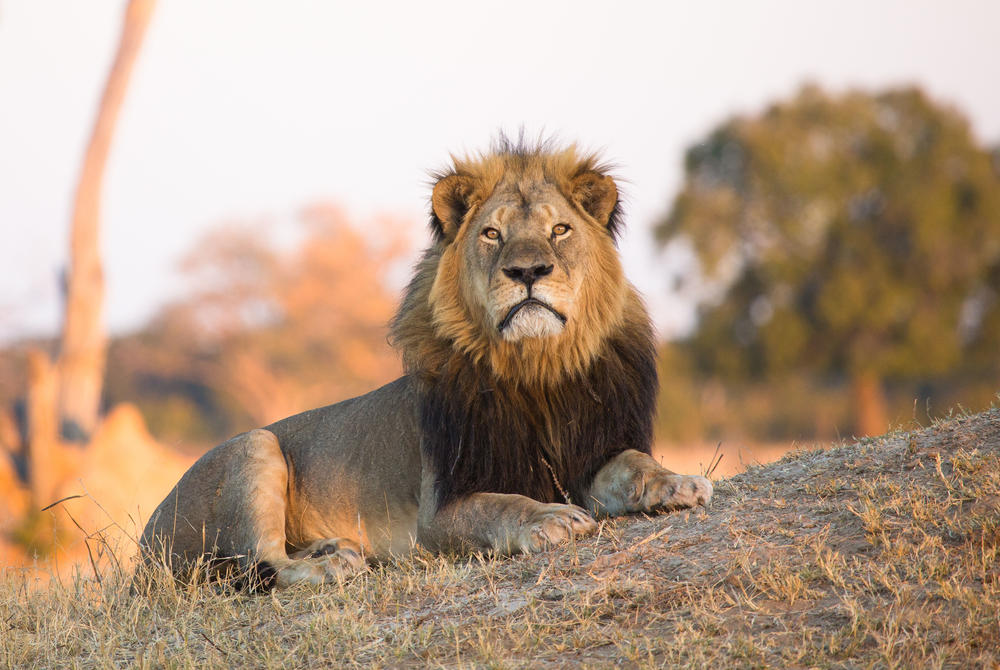 Lion, Hwange National Park