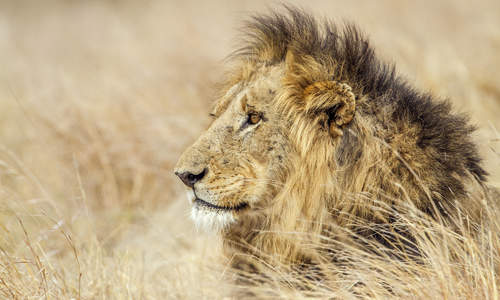 Lion of Kruger National Park